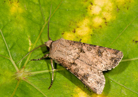 agrotis-exclamationis
