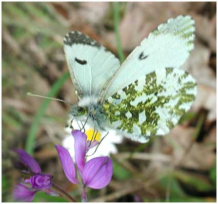 Aurore,Anthocharis cardamines femelle