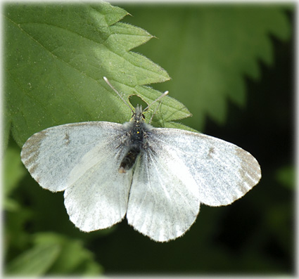 Anthocharis cardamines femelle