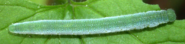 chenille Anthocharis cardamines