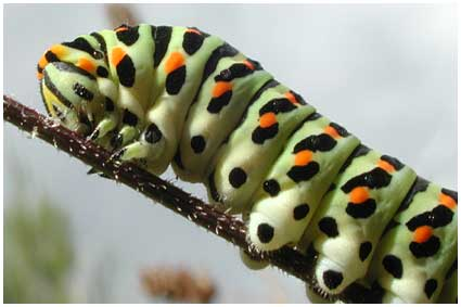 chenille Machaon